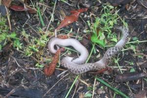 RattlesnakeIMG_1313